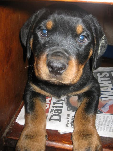 rottweiler for sale nsw for sale rottweiler pups purebred 450 each