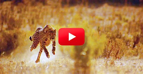 how fast is a you wondered how cheetahs can run so fast the rainforest site