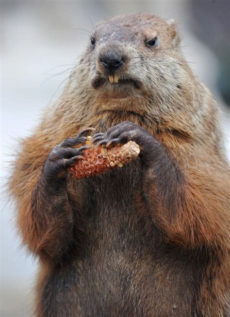 groundhog day reference best photos of punxsutawney phil groundhog day groundhog