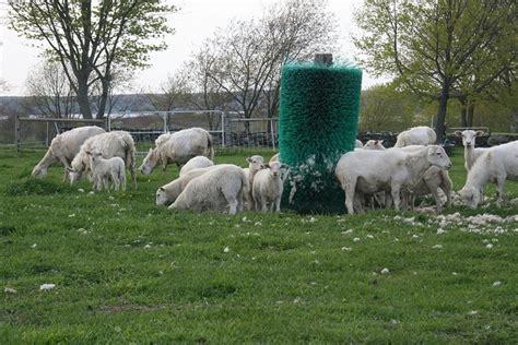 Shedding Sheep Breeds by 194 Best Images About Sheep On Wool Australia