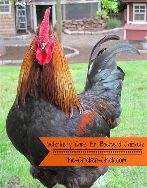 how to care for backyard chickens veterinary care for backyard chickens a dialogue that