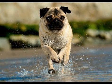 retarded pug pug running