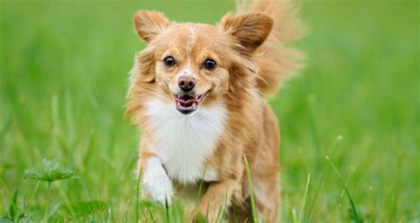 how do small dogs live 11 worst small breeds for families puppy lover news