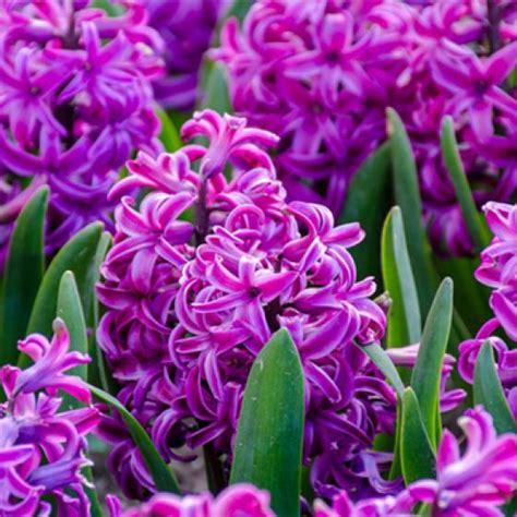 bulbi primaverili fiori vendita bulbi a fioritura primaverile bulbi