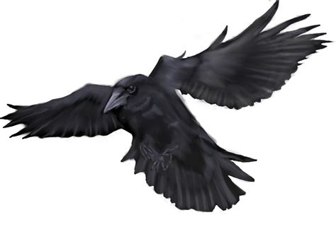 crow drawing clipart best