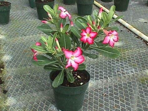 Biji Bunga Adenium 30 gizi dan kuliner by budi adenium si mawar gurun