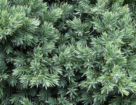 28 awesome low growing evergreen shrubs images veggies gardening pinterest evergreen