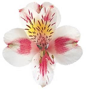 Vase Fillers Bulk Order Bulk Rebecca White W Pink Alstroemeria 120 Stems