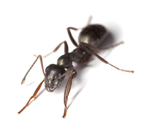 black ant ant control in essex st georges ant control