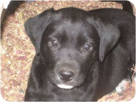 puppies for adoption in nebraska lab mix puppies adopted puppy columbus ne labrador