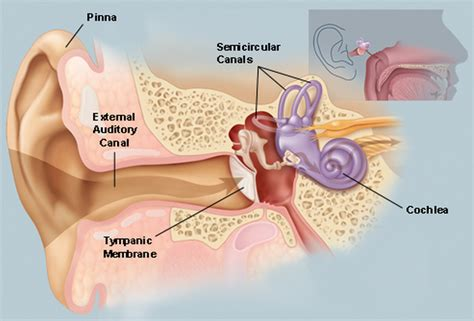 picture of the inner ear picture of the ear ear conditions and treatments