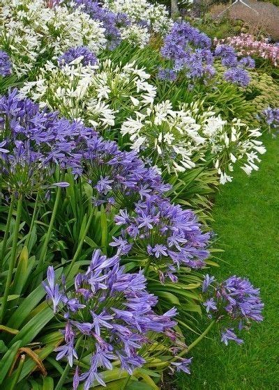 25 best ideas about agapanthus plant on pinterest agapanthus blue summer flowering bulbs and