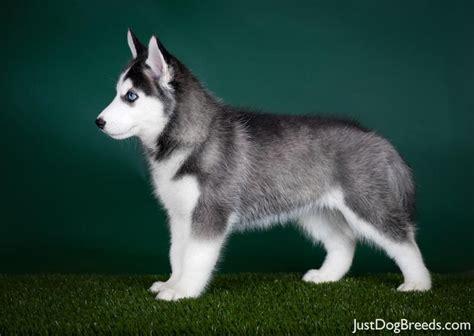 husky breed siberian husky7 jpg siberian husky breeds