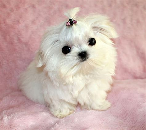 micro mini puppies micro teacup maltese puppy iheartteacups tiny white maltese puppy