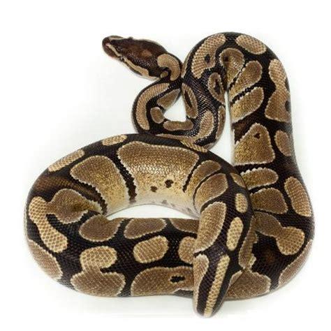 alimentazione pitone reale python regius pitone reale