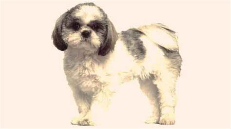 different kinds of shih tzu types of shih tzu haircuts hairstylegalleries