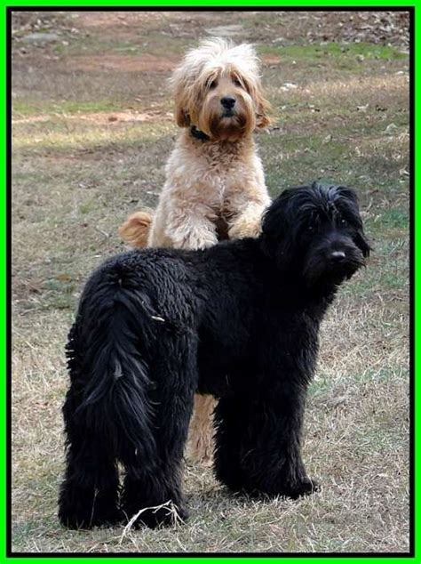 doodle puppies for sale in ga southern charm labradoodles american and australian