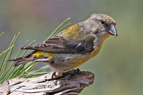 file red crossbill female jpg wikipedia