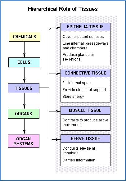 Free Toxicology Course On Tissues Kinds Of Tissues In The