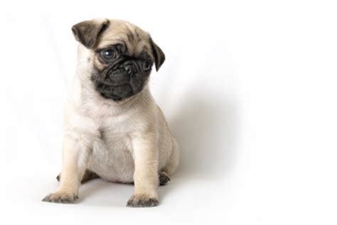 common pug health issues health issues for pugs pet hooligans