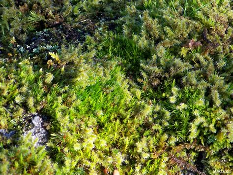 how many types of mosses are there west coast plants name that plant