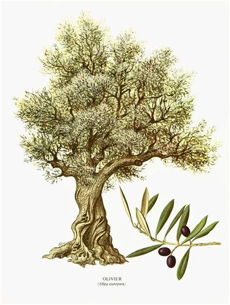 la cuisine d olivier les 25 meilleures id 233 es de la cat 233 gorie arbre olivier sur