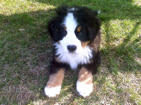 mountain puppies file bernese mountain jpg