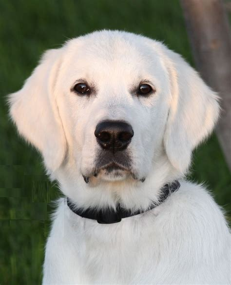 how does a golden retriever look like de 25 bedste id 233 er inden for white golden retrievers p 229