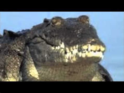Interior Crocodile Alligator Vine by Interior Crocodile Alligator Actual Song Remix