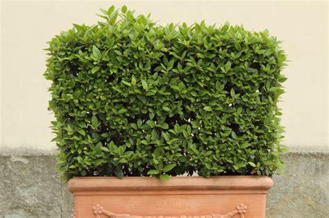 Pflanzen Balkon Winterhart by Winterharte K 252 Belpflanzen Obi Ratgeber