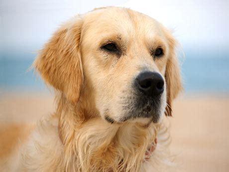 imagenes de animales wikipedia cuentos para ni 241 os el perro del establo