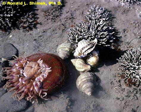 anemone eating bird a big gulp anemones eating very large prey