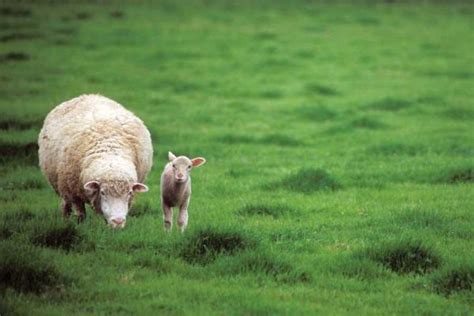 rising sheep raising sheep the basics homesteading and livestock earth news