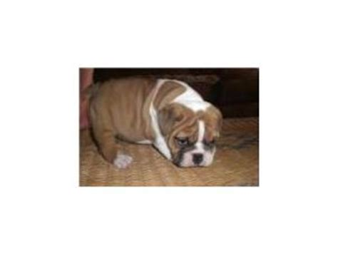 bulldog puppies for sale in knoxville tn bulldog puppies in tennessee