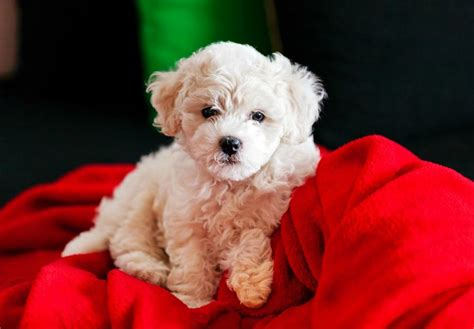 bichon puppies bichon frise puppies for sale akc puppyfinder