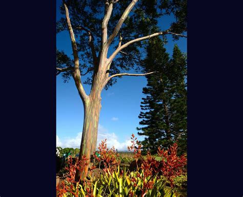 rainbow trees rainbow eucalyptus trees maui hawaii world for travel