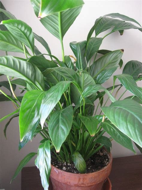 peace lily pin peace lily on pinterest