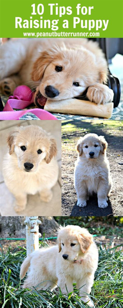 raising puppies my top 10 tips for raising a golden retriever puppy