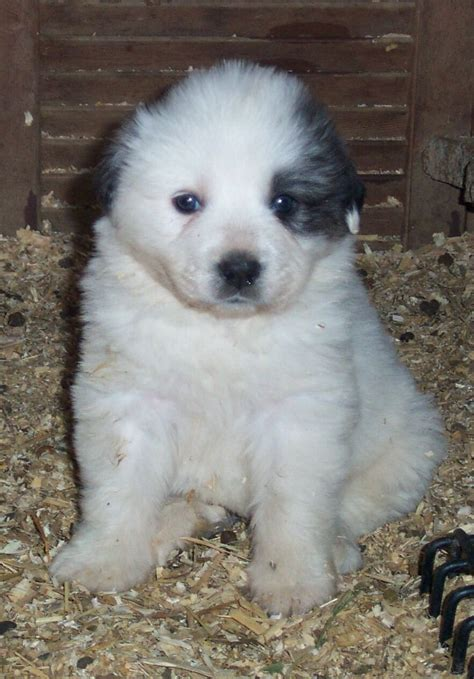 shih tzu st bernard mix st bernard great pyrenees cross bernard great pyrenees mix puppies dogs to
