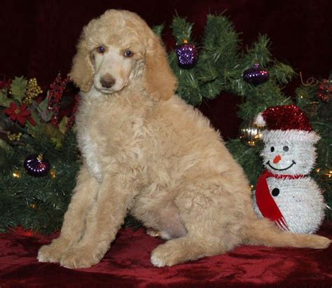 silver standard poodle puppies for sale die besten 25 standard poodles for sale ideen auf standard goldendoodle