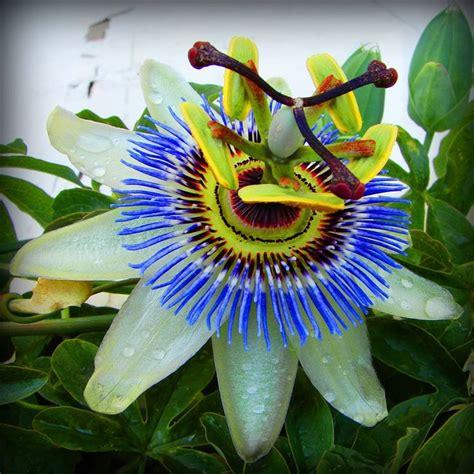 fiore passione fiore della passione ricanti fiore della passione