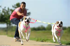 Ae Pulls Dogs Show For Foreseeable Future by This Is The Pits Corey Spicer Trains His Terriers To