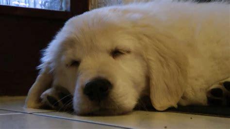 golden retriever 8 weeks golden retriever puppy henry 8 weeks