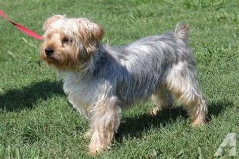 yorkie adults terrier yorkie teddy small for sale in