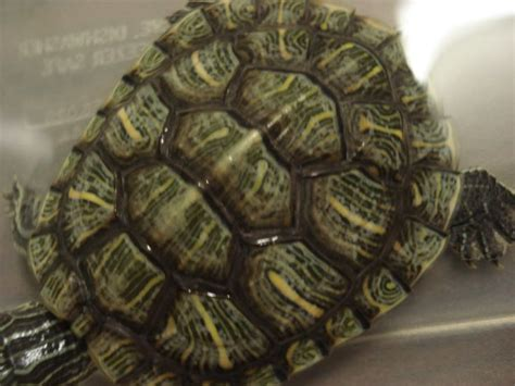 google images turtle turtle shell google search animals pinterest
