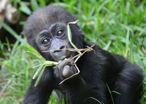 Giant Panda No Longer Endangered, Eastern Gorilla Now ...