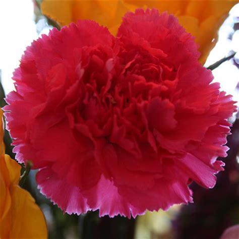 facts about carnations scientific name for the carnation carnation facts