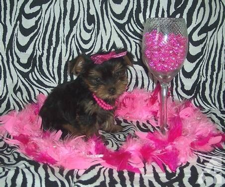 yorkie puppies paducah ky teacup puppies for sale in paducah kentucky breeds picture