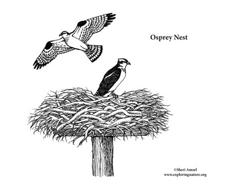 osprey nest coloring nature