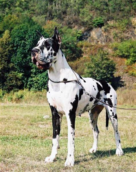 gran danes puppy how is the average gran dan 233 s